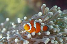 Amphiprion Ocellaris Fish Among Corals Undersea