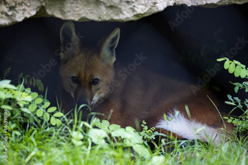 A Maned Wolf is resting in the forest