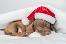 Cozy Dachshund Puppy Wearing Red Santa Hat Sleeps On Pillow Under Warm Blanket On A Bed At Home