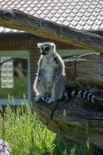 Fototapeta premium Vertical shot of a ring-tailed lemur sitting on the wood.