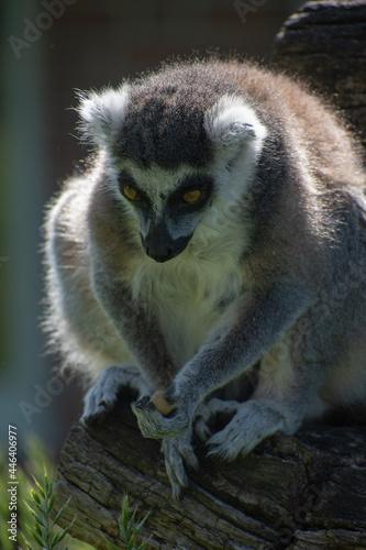 Fototapeta premium Vertical closeup of a ring-tailed lemur sitting on the wood.