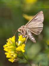 Silver Y Moth Flying To Yellow Flower Macro Green Background
