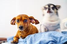 多頭飼い/ダックスとチワワ/仲良しの犬.ペット/ワンちゃん/白背景