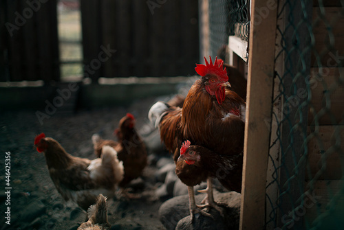 Rooster with red tuft and chickens on the farm Fototapet