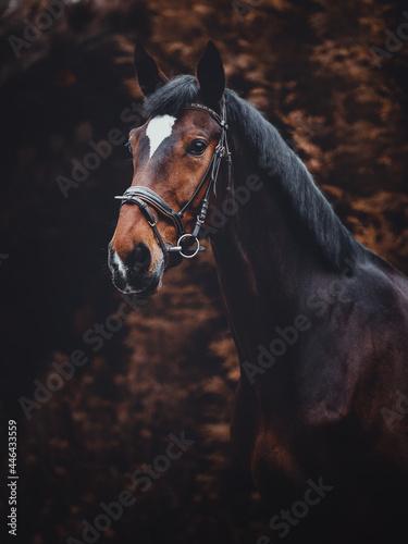 Fotografie, Obraz closeup portrait of kwpn dressage gelding horse with white spot on forehead in b