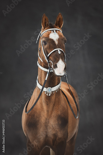 Fotografie, Tablou portrait of magnificent akhal-teke stallion horse with traditional bridle and fi