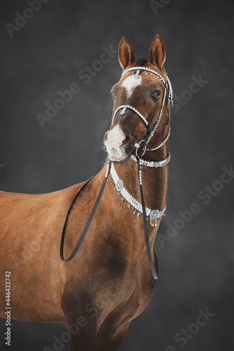 portrait of magnificent akhal-teke stallion horse with traditional bridle and fi Fototapet