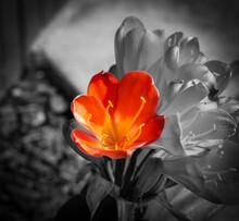 Orange Clivia Miniata (Natal Lily, Bush Lily, Kaffir Lily) Flower On A Black And White Background