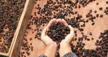 Currant Grapes In Young Woman Hand In Front Of Organic Raisin Drying Yard