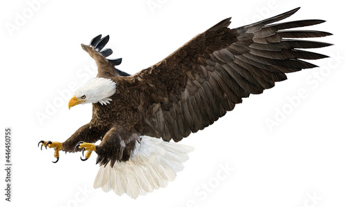 Fotografering Bald eagle flying swoop attack hand draw and paint color on white background illustration