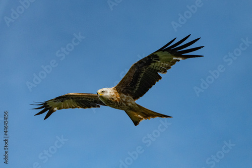 Photo red kite soaring high