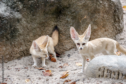 Fototapeta premium SEOUL, KOREA, SOUTH - May 01, 2015: Group of exotic Fennec Foxes captured in Everland Lost Valley in Seoul, South Korea