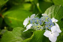 Hydrangea Serrata é Uma Espécie De Planta Da Família Hydrangeaceae, Nativa Das Regiões Montanhosas Da Coréia E Do Japão. É Um Arbusto Decíduo Com Folhas Ovais E Panículas De Flores Azuis E Rosa.