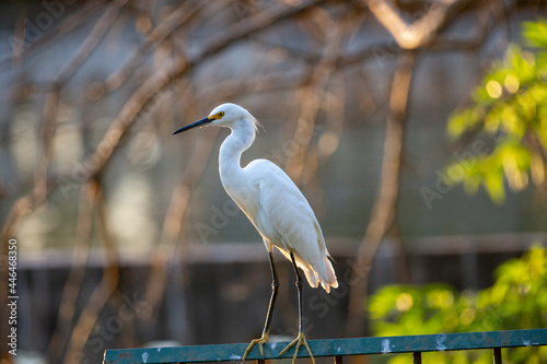 Fototapeta premium White heron perched on its side , isolated in selective focus with deep blur
