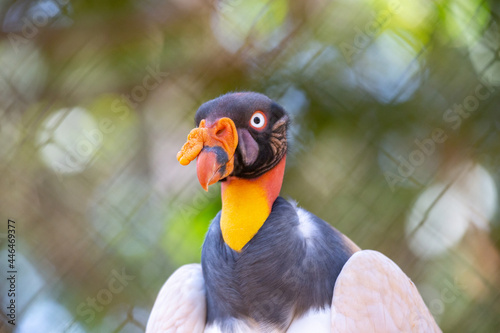 Fototapeta premium Colorful king vulture in isolated closeup with blurred background.