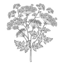 Branch Of Outline Toxic Conium Maculatum Or Poison Hemlock Bunch, Leaf And Seeds In Black Isolated On White Background.