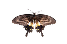 Papilio Polytes Or Common Mormon Butterfly Isolated On White Background