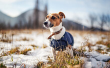 Small Jack Russell Terrier Stands On Green Grass Meadow With Patches Of Snow During Freezing Winter Day, Blurred Trees And Hills Behind Her