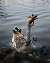 Beautiful And Exotic Duck In Ibirapuera Park