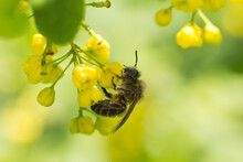 A Wild Bee (sand Bee) Gathering Pollen On A Raceme Of Yellow Barberry Blossoms