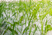 Poplar Fluff Falls And Lies On The Green Grass. Fluff Is A Source Of Allergies. Summer Landscape In The City Park.