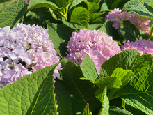 Small Purple With Pink Blooming Delicate Gartens Large-leaved Flowers Beautiful Fluffy Unusual Exotic Plants. The Background