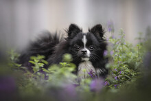 A Black-and-white Pomeranian Puppy Sitting In Catnip Bushes Among Green And Purple Flowers