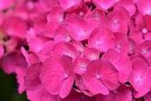 A Pink Hydrangea Blossom As A Close Up