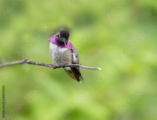Fototapeta premium Costas Hummingbird on a perch with green background
