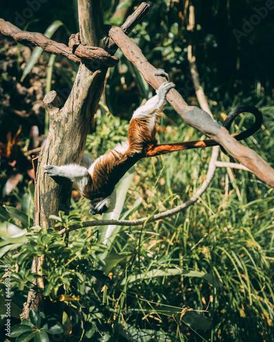 Fototapeta premium Monkey