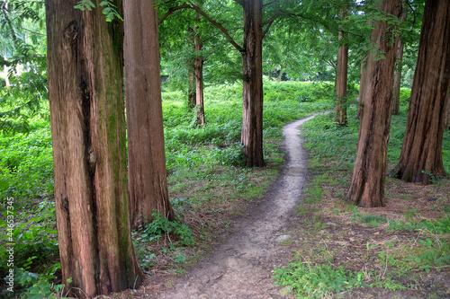 Fotografia, Obraz メタセコイアの林の中に踏み分け道がある風景