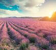 Leinwandbild Motiv Violet lavender field in Provence. Lavanda officinalis