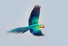 Macaw Parrot Fly In Dark Green Vegetation. Scarlet Macaw, Ara Macao, In Tropical Forest