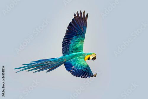 Fotografering Macaw parrot fly in dark green vegetation