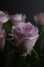 장미꽃사진