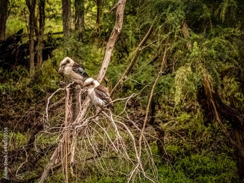 Fototapeta premium Twin Kookaburras