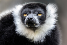 Closeup Of An Adult Black And White Ruffed Lemur, Varecia Variegata. This Critically Endangered Species Is Indigenous To The Rainsforst Of Madagascar.