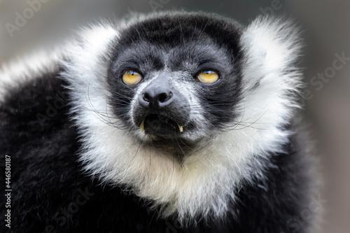 Fototapeta premium Closeup of an adult black and white ruffed lemur, varecia variegata. This critically endangered species is indigenous to the rainsforst of Madagascar.