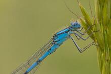 Common Blue Damselfly Closeup