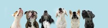 Banner Six Hungry Dogs Looking Up Begging Food. Isolated On Blue Background