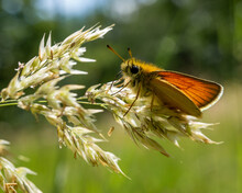 Closeup Of A Cute Essex Skipper Standing On Vibrant White Flowers On A Blurred Background