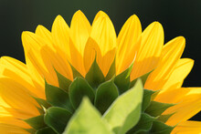 Backlit Yellow Sunflower Close Up