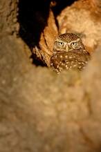 Little Owl In A Hole In A Mature Oak Tree