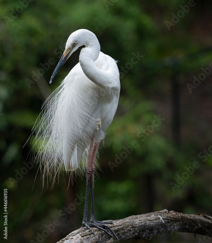 Fototapeta premium One of Australia's most elegant birds, the snowy-white Eastern Great Egret is often seen wading in a range of wetlands, from lakes, rivers and swamps to estuaries, saltmarsh and intertidal mudflats
