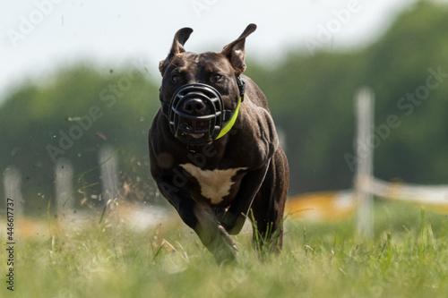 Fotografering Staffordshire Bull Terrier running full speed at lure coursing sport