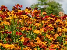 Beautiful Flowers Indian Blanket Or Gaillardia Pulchella.
