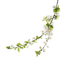 Cherry Tree Branch With Beautiful Blossoms Isolated On White