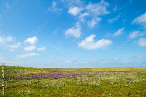 Obraz na plátně Sea lavender flowers blooming in a marshland