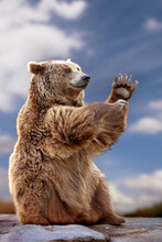 Portrait Of A Funny Brown Bear Sitting Clapping His Hands