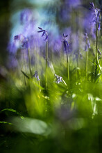 Bluebells In A Bluebell Wood In Oxfordshire, England